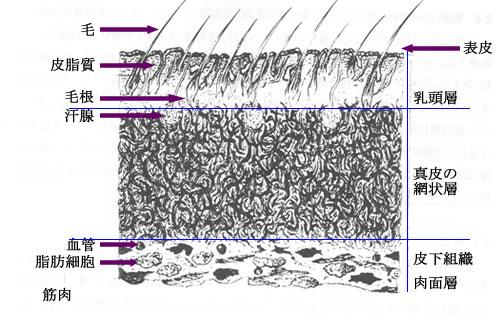 図2 牛皮膚の断面図